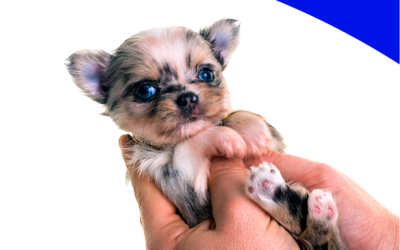 Early handling tréning – korai szocializáció kiskutyáknak